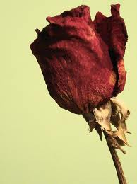 withered rose The Bachelor